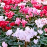 afskårne blomster